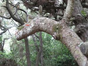 Cavallo su albero