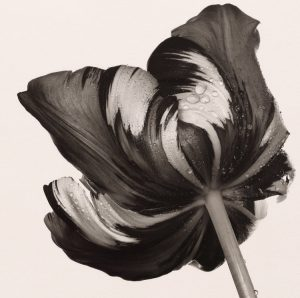 18 cottage_tulip-_sorbet_new_york_1967_platinum